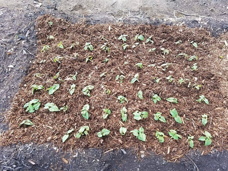 bush bean seedlings