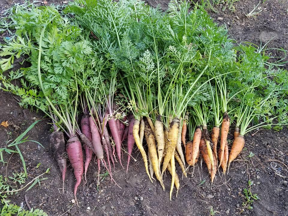 carrots rainbow