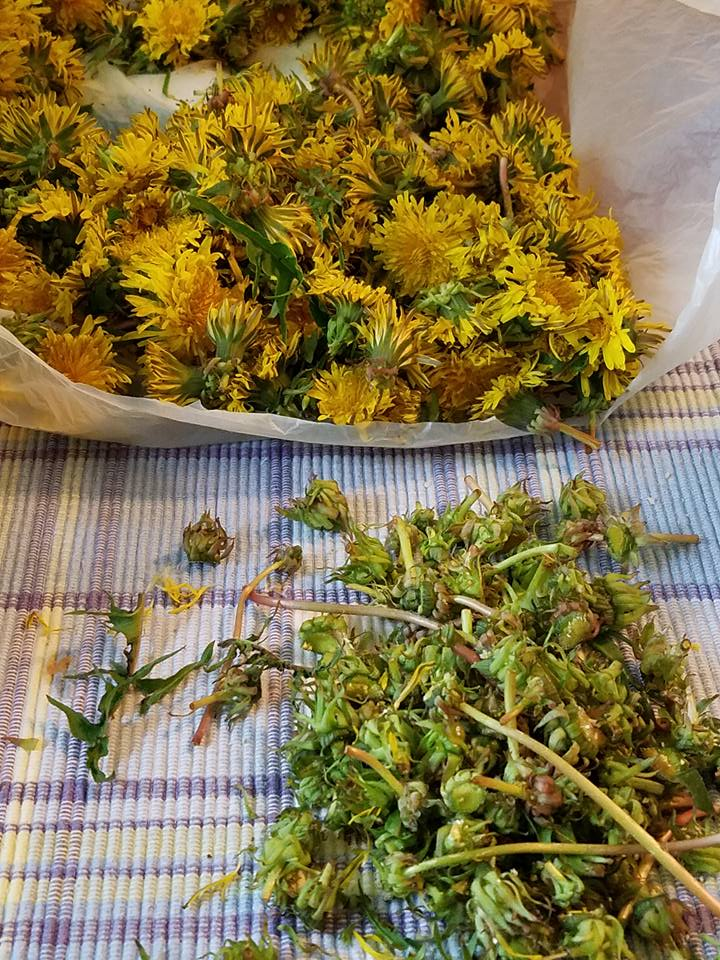 Cutting dandelion stems