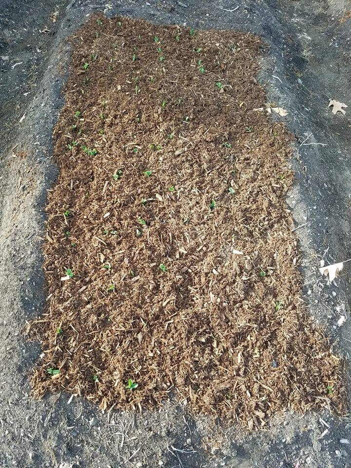 shell pea sprouts