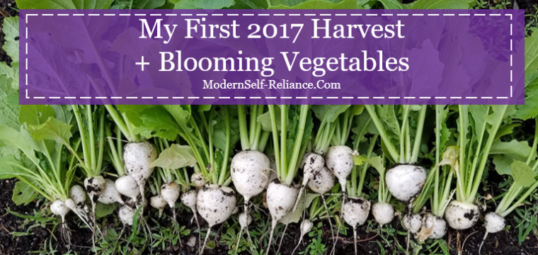 My First 2017 Harvest + Blooming Vegetables