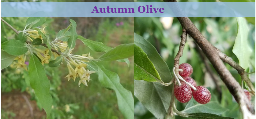 Autumn olive blooming and fruiting