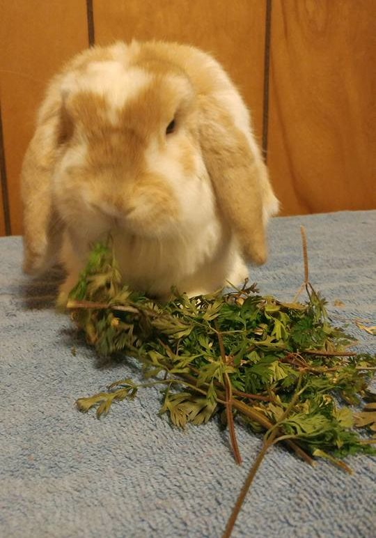 bunny carrot tops